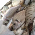Captain Igloo® - pescato durante sessione di pesca sportiva con Captain Igloo®